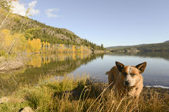 Lake dog Stock Photography
