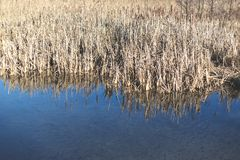 Lake with dry reeds in autumn. Lake with dry reeds in autumn Stock Image