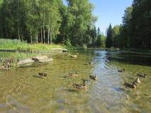 Scenery Gatchina Park. Lake with ducks at the Gatchina Palace Park Stock Photography