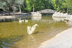 Lake with ducks at the National Garden of Athens Greece royalty free stock photos