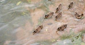 Lake with ducks Stock Image