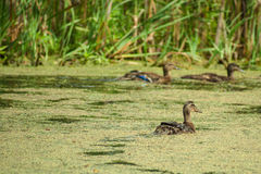 Lake with ducks. Lake pond with wild ducks and algae Royalty Free Stock Photo