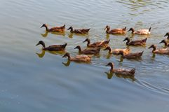 Lake with  and ducks in the water Royalty Free Stock Image