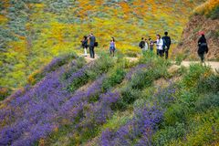 Lake Elsinore, California - March 20, 2019: Tourists take photos and walk the trail at Walker Canyon, admiring the wildflowers and royalty free stock image