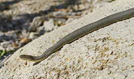 Lake Erie Water Snake. Lake Erie Watersnake (Nerodia sipedon insularum) at Lighthouse Point Provincial Nature Reserve in Pelee Island, Ontario, Canada royalty free stock photography
