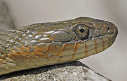 Lake Erie Water Snake. Lake Erie Watersnake (Nerodia sipedon insularum) at Lighthouse Point Provincial Nature Reserve in Pelee Island, Ontario, Canada stock image