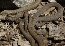 Lake Erie Watersnakes. Nerodia sipedon insularum mating beneath the rocks by the Lake Erie at Lighthouse Point Provincial Nature Reserve in Pelee Island stock photos