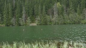 Lake in the Fir Forest. Pan shot to a greenish mountain lake with wild fir forests on the shore, and tree trunks in the water, because of an old flooding stock footage