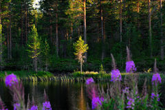 Lake with fireweed flowers Royalty Free Stock Photos