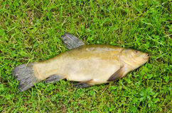 Lake fish tench with orange eye on green grass Stock Photography