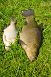 Lake fishes tench orange eye bream green grass Stock Image