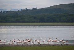 Lake of Flamingos Stock Images