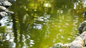 Lake with floating fish jumping out of water and stones stock footage
