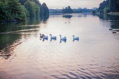 Geese floating on the lake stock image