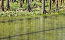 Lake in floodplain forest. Lake in the floodplain forest in spring royalty free stock photography