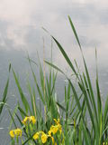 Lake flowers Royalty Free Stock Images