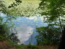 Lake in forest with water surface covered by plants Royalty Free Stock Image