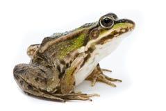 Free Lake Frog On White Background Royalty Free Stock Image - 19916776