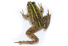 Lake Frog On White Background Royalty Free Stock Image