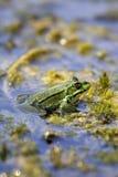 Lake frog - Pelophylax ridibundus (Rana ridibunda). A lake or marsh frog warming up in the sun Royalty Free Stock Photo