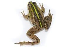 Lake frog on white background royalty free stock image