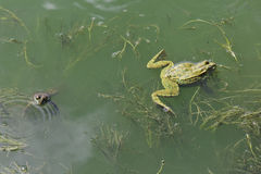 The lake frogs Stock Photography