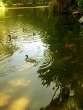 Lake full of fish and Swans. Jardin parisien beautiful Stock Image
