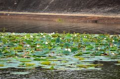 Lake full of lotus flower, Srí Lanka Royalty Free Stock Photos