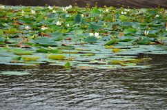Lake full of lotus flower, Srí Lanka Royalty Free Stock Image