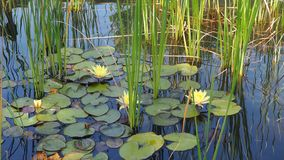 A lake full of water lilies. Nature royalty free stock photo