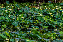 A Lake Full of Yellow Lotus, Water Hyacinth, Reeds, and Other Water Plants Royalty Free Stock Photos