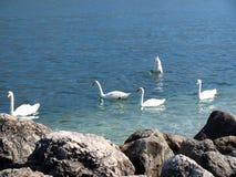 Lake Garda and swans Royalty Free Stock Image