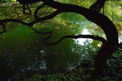 Lake Garden. Acer tree reflecting in the lake of a japanese garden Royalty Free Stock Photos