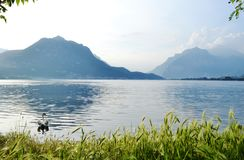 Lake Garlate near Lecco with white swan swimming in forefront. Beautiful panoramic view to the lake Garlate near Lecco with white swan swimming in forefront stock photo