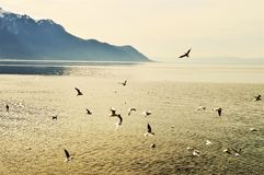 Lake Geneva, vintage hues and birds, Switzerland, Europe. Lake Geneva, vintage hues and flying birds, in Montreaux, beautiful peaks of Swiss Alps, Switzerland Royalty Free Stock Photo