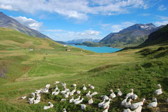 Lake and goats. A nice panoramic view of the Moncenisio lake (France). A group of white goats in foreground giving a sense of peace and quietness Royalty Free Stock Photography