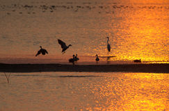 Lake in golden sunset with ducks and other wetland birds Stock Photography