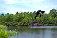 Lake in green and purple and flying wild raven - Virginia Waters Lake Stock Photo
