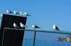 Lake gulls at Ohrid Lake. Gulls are family coastal birds,these here are lake gulls at the lake Ohrid Royalty Free Stock Photo