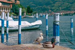 Lake Iseo and ducks in the foreground. Italy Royalty Free Stock Photos