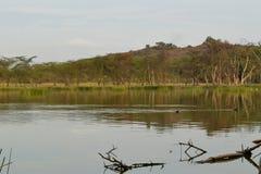 Lake landscape against a forest background, Kenya. Lake  Elementaita against a forest background, Naivasha, Rift Valley, Kenya  nature natural lakeshore trek royalty free stock image