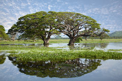 Lake landscape - gigantic trees with water reflection. Two gigantic round shaped trees growing in the middle of a big lake with beautiful water reflection. Green stock image