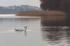 Lake landscape with swimming swans stock photo