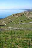 Lake Leman Vineyard and Lausanne. A large expanse of rolling hills covered in grape wine vineyards looks over the lake leman towards the city of Lausanne Stock Image
