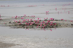 Lake of Lilies royalty free stock image