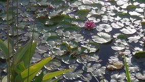 Lake with lilies in the morning sun. Beautiful view of the lake with water plants. Asian aquatic vegetation. Sunny morning on the lake. Beautiful flower stock footage