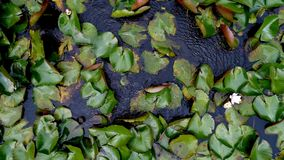 Lake lily leaves. Aerial view of lily leaves Royalty Free Stock Image