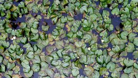 Lake lily leaves. Aerial view of lily leaves Stock Photos