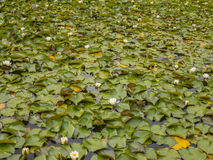 Lake lily pads Stock Photography