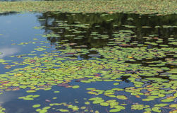 Lake and Lily Pads Royalty Free Stock Images
